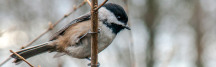 black-capped chickadee stanley park