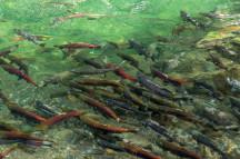 salmon michael schmidt