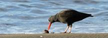 a bird eating a shellfish on the beach