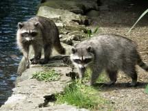Raccoons Stanley Park