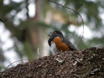 Spotted Towhee in Stanley Park