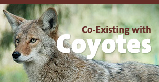 Co-Existing with Coyotes