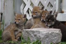 Coyote pups stanley park