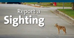 Report a Coyote Sighting
