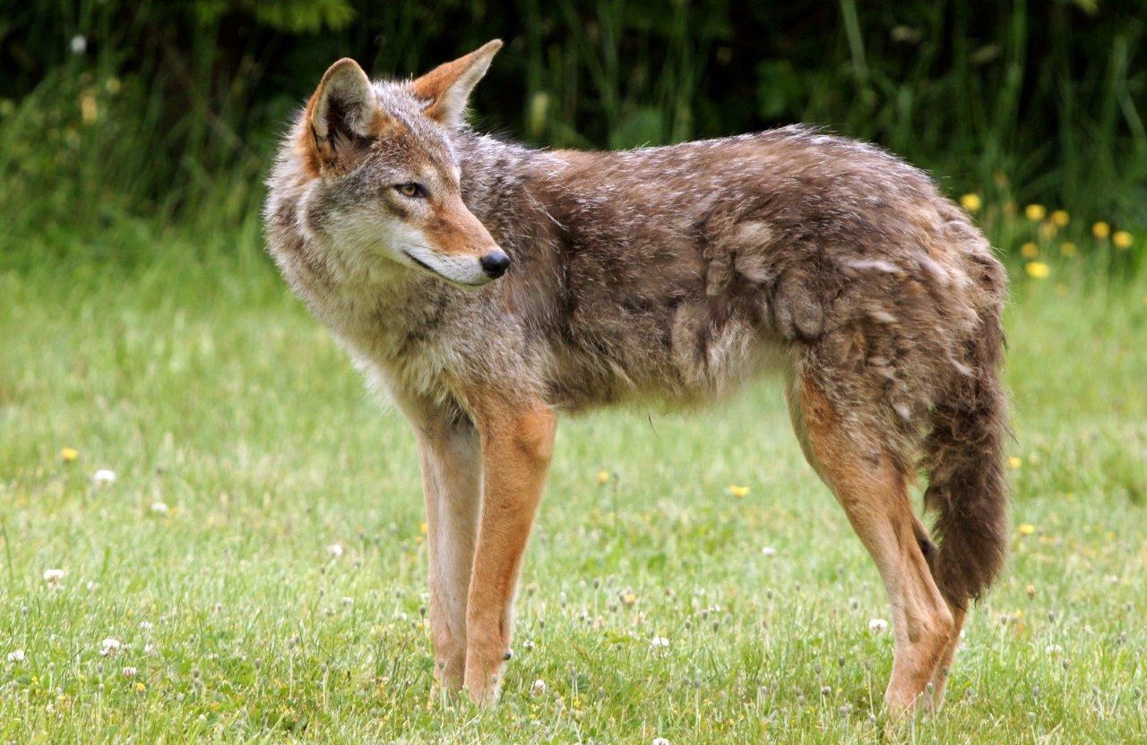 Surge in coyote reports in East Vancouver - Stanley Park Ecology ...