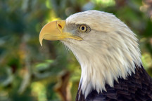 the head of a bald eagle