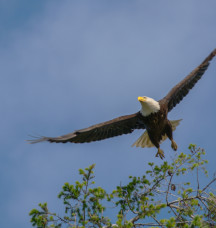 Bald eagle by Michael Schmidt
