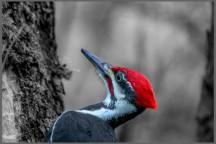 Pileated woodpecker by Milva DeSiena