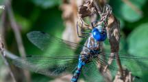 Blue-eyed darner by Michael Schmidt