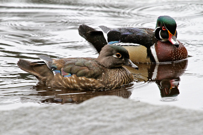 adult wood ducks Donald Cayo