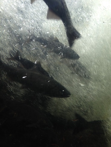 salmon in fish ladder 1_Brian Titaro low res