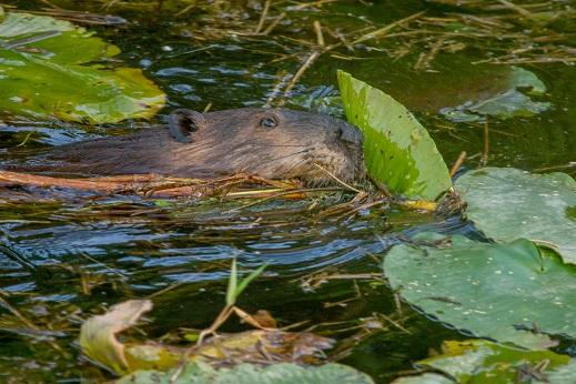 2012.May.20-White-Beaver-01