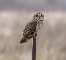 2014.Jan.18-Michael Schmidt-Short Eared Owl-3