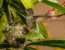 2014.June.07.Michael Schmidt.Anna's Hummingbird Nest 2-2.jpg