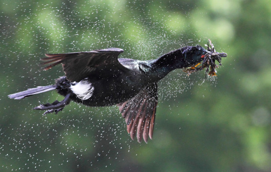 Pelagic-Cormorant