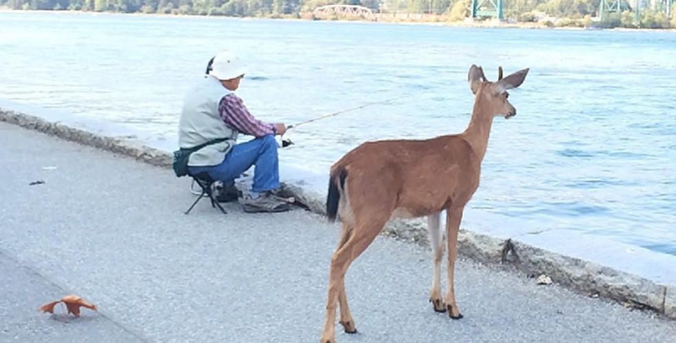downtown-vancouver-deer-stanley-park-984x500