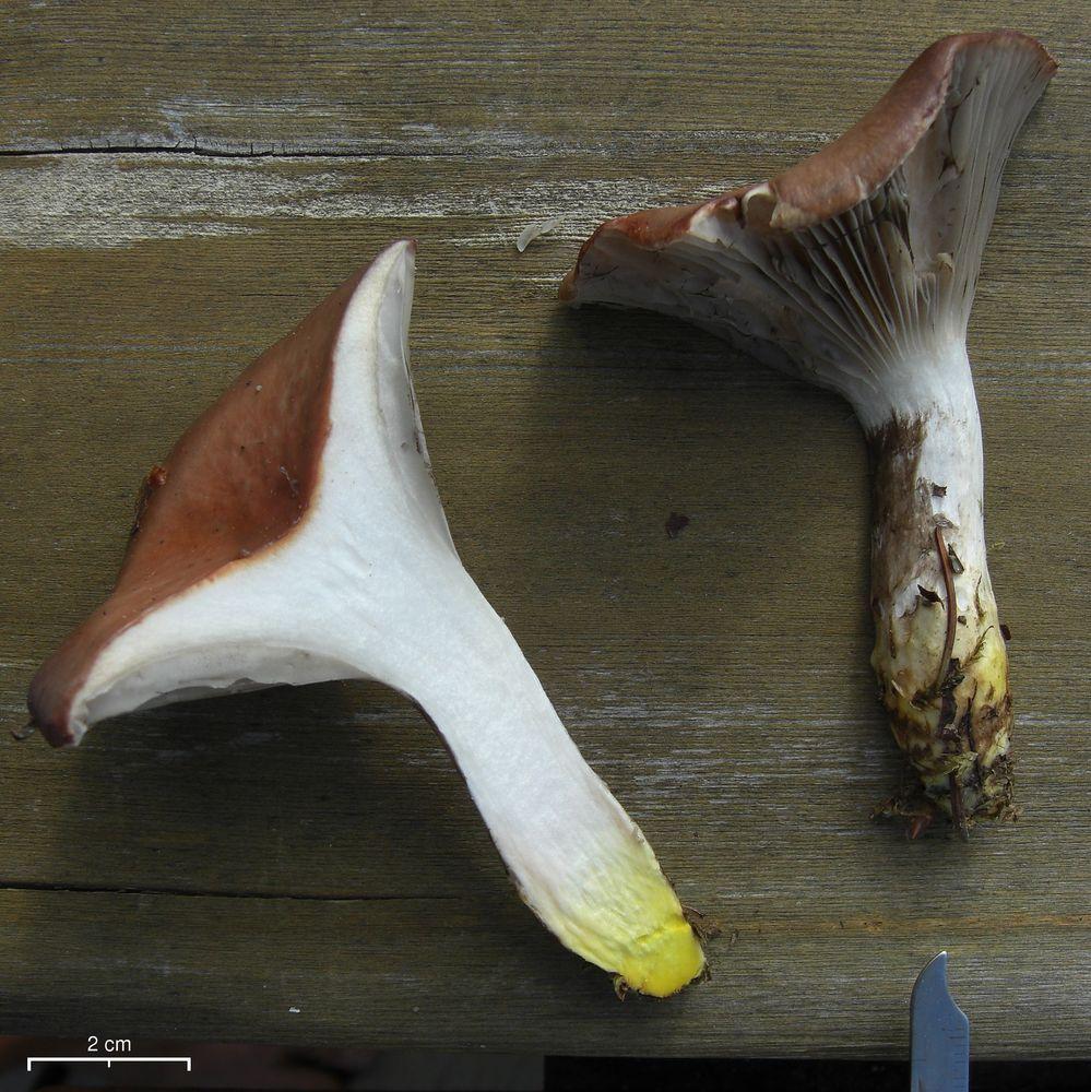Gomphidius_oregonensis_2