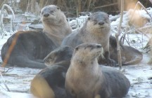 icy otters low res