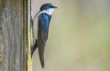 2008.Apr.17-Enright-Tree Swallow-01