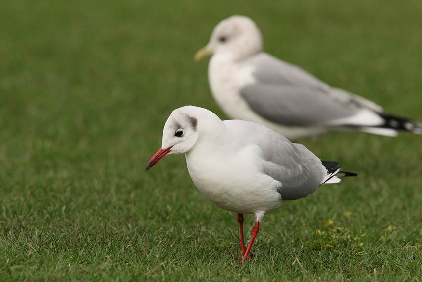 black headed gull Peter Woods