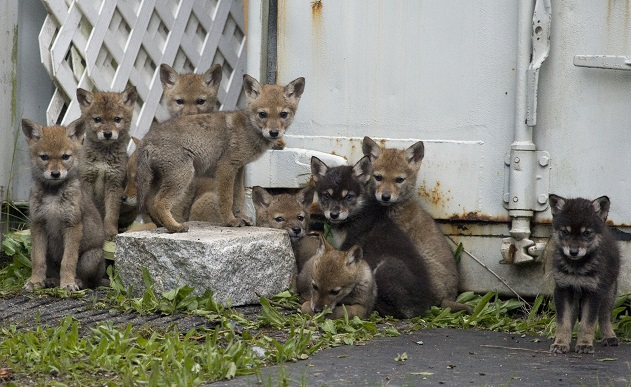 Coyote Pups - Credit Mark White (1)