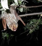 Hoary_bat_By Photographer Paul Cryan, U.S. Geological Survey [Public domain], via Wikimedia Commons