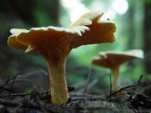 cantharellus-cibarius-side -Peter Woods