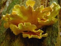 laetiporus-sulphureus-bottom - Peter Woods