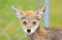 Coyote Pup Small - Greg Hart