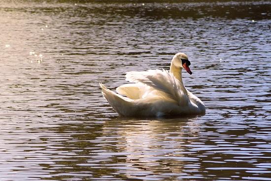 Mute Swan - Credit Karla Uemoto