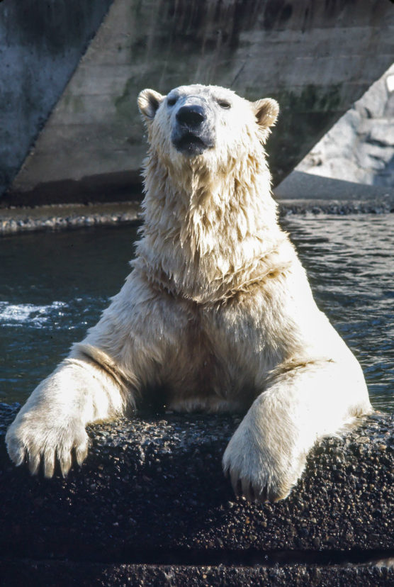A Polar Bear at the Zoo, cica 1980's