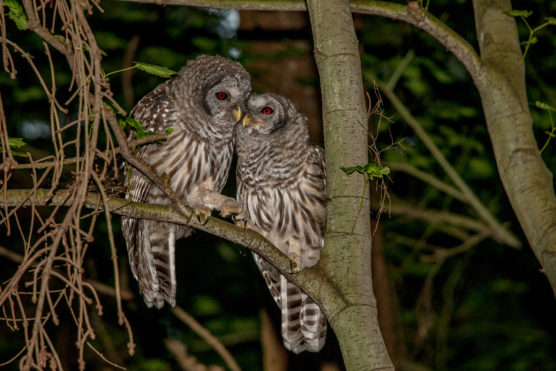 a male and female barred owl cuddling up for the night