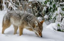 thumbnail_Coyote in Snow - Credit Robyn Worcester