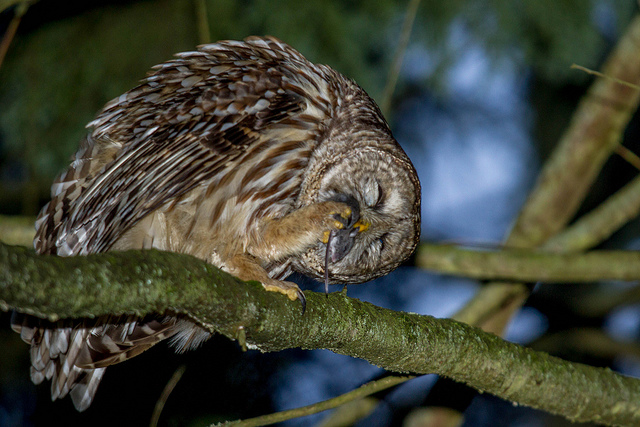 Image of: Eagle Owl cancelled Owl Prowl Stanley Park Ecology Society Nocturnal Animals Stanley Park Ecology Society